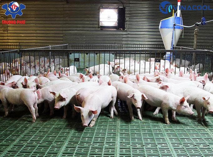 chăn nuôi lợn khép kín